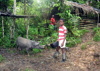 Pacific Colombian creole breed, on the border of extinction