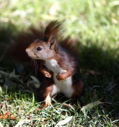 A squirrel in the Retiro park in Madrid.
