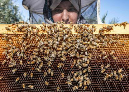 A beekeeper inspecting a hive frame.