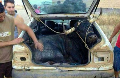 A bull tied up in the trunk of a car on its way to an event in Carbajales de Alba (Zamora).