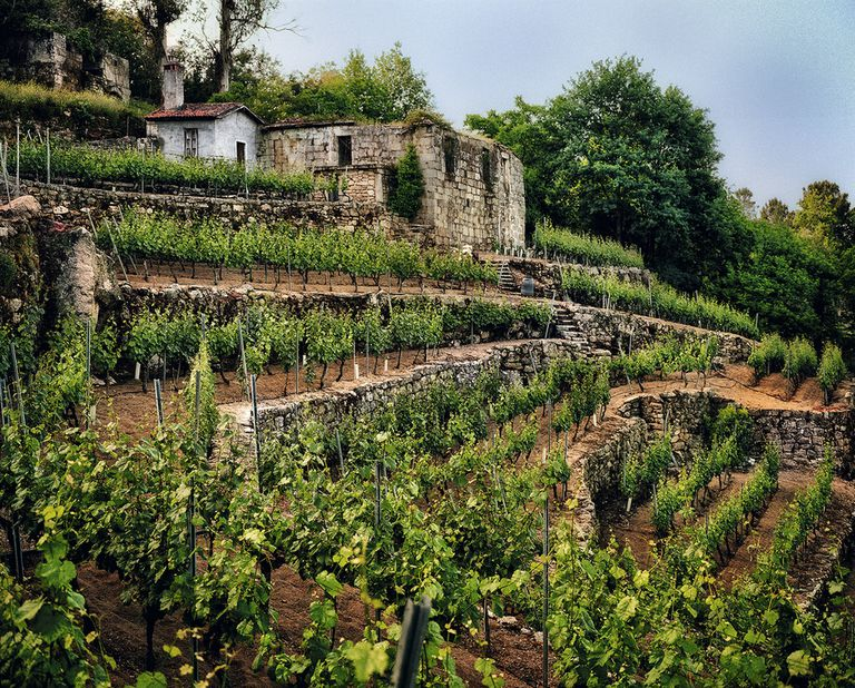 Vineyard in Leiro (Ourense) owned by Emilio Rojo.