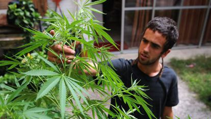 A man tends to marijuana plants in his Montevideo home.