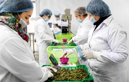 Workers weigh marijuana on the Libertad plantation.
