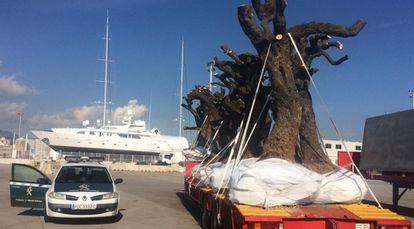 Police impound olive trees in Palma de Mallorca.