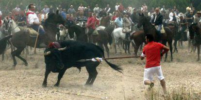 The final moments of last year's Toro de la Vega in Tordesillas.
