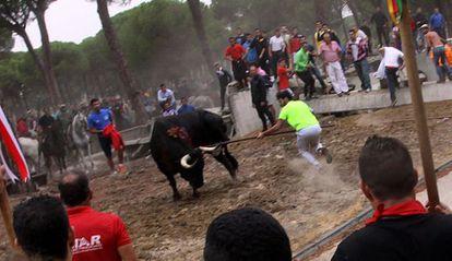 This year's Toro de la Vega bull is speared.