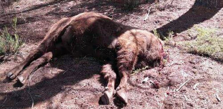 A male bison named Sauron was found decapitated in Valdeserrillas (Valencia).
