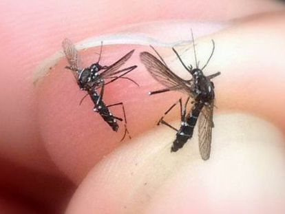 Two tiger mosquitoes photographed by a member of the public.