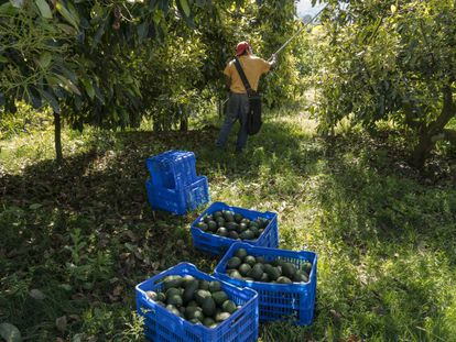 A worker collects avocados from a farm in Uruapan.