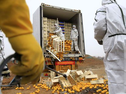 Workers taking out the citrus fruit that was later destroyed due to illegal export papers.