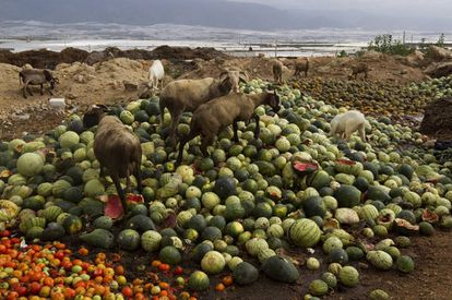 Goats eat food thrown out by farmers in Almería.