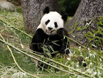 Madrid Zoo-Aquarium's female giant panda, Hua Zui Ba. There are believed to be fewer than 1,600 of the species left in the wild.