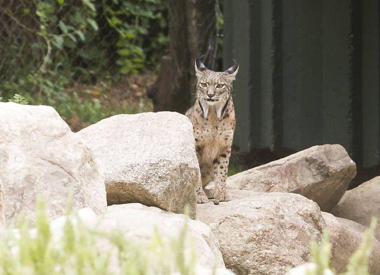 Jazmín, the female lynx now living at the Madrid Zoo Aquarium.