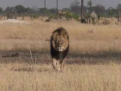 Cecil the Lion gets close to tourists in Zimbabwe.