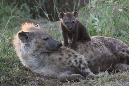 A spotted hyena with its young.