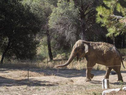 'Dumba' walks through her owner's plot of land in Caldes de Montbui.