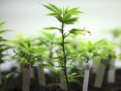 Cannabis being grown for medicinal purposes.