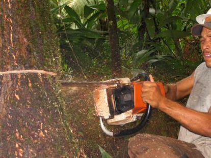 A tree is felled in Bosawás