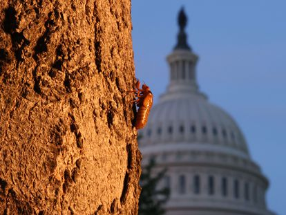 A cicada in front of the US Capitol in Washington.