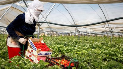 A woman collects strawberries in the southern Spanish province of Huelva.