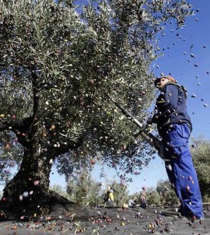 The olive industry is crucial to the economy of southern Spain's Andalusia region.