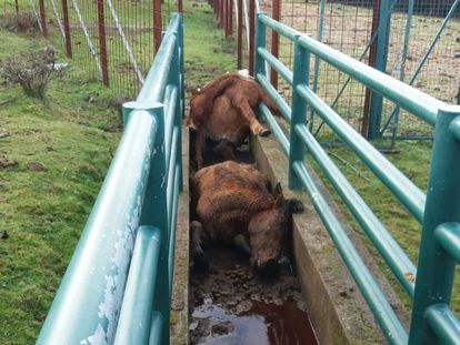 Two of the dead mares in the deworming corridor.