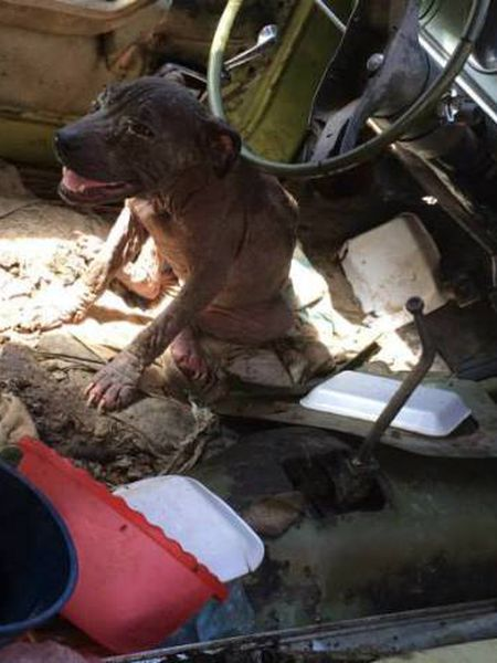 An abandoned pitbull found in a car in Aguascalientes in 2015.