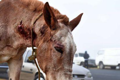 A wounded horse at San Bernabé Market.
