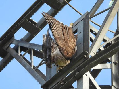 A Bonelli's eagle hangs from an electricity cable after being electrocuted.