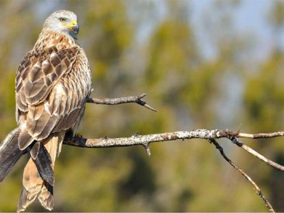 Red kite photographed by Fabrizio Sergio, researcher at the Doñana Biolgoical Station.