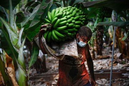 Yulian Lorenzo carrying bananas last Thursday on a plantation in Tazacorte (La Palma).