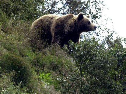 One of Spain's brown bears