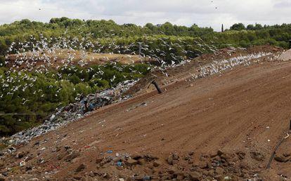 Birds feeding at Loeches dump in Alcalá de Henares.