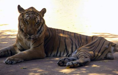 A malnourished tiger in the San Francisco zoo.