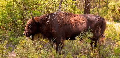 A bison on the Valdeserrillas nature preserve.