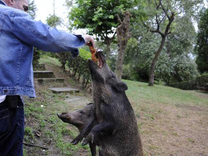 A resident of Oviedo feeding a wild boar on Thursday.