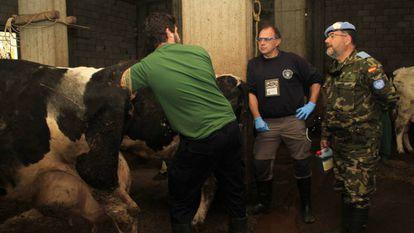 Spanish vets examining a cow in Lebanon.