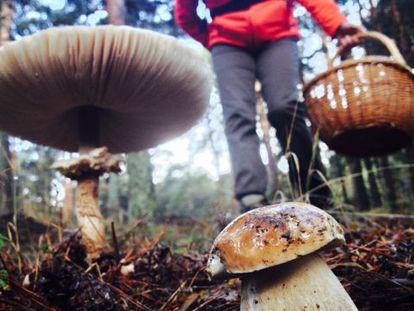 Mushroom gathering in Riofrio, Segovia.