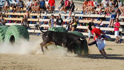 A young bull released into the ring in El Pinós in Alicante.