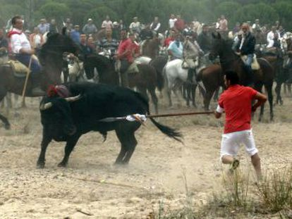 Castilla y León decides that controversial popular hunt with spears will go ahead, but that animals cannot be killed outside the bullring
