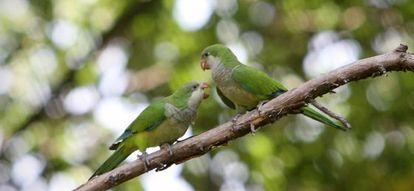Parakeets in Madrid's Casa de Campo.