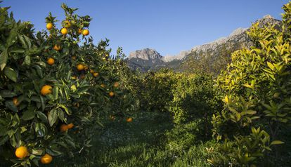 Oranges in Ecovinyassa, the ecological orchard, with a view of the Tramunatana mountain range (Mallorca).