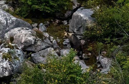 A brown bear in Somiedo Nature Park (Asturias).