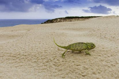 Un camaleón en lo alto de la duna que se levanta, hasta los 30 metros de altura, en el extremo occidental de la ensenada de Bolonia, en Tarifa (Cádiz).
