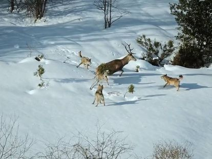 Trailer from the film 'Cantábrico' showing a pack of Iberian wolves hunting a deer.