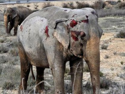 Animals with bloodied faces wandered along the A-30 Albacete highway, which was closed for over two hours due to incident