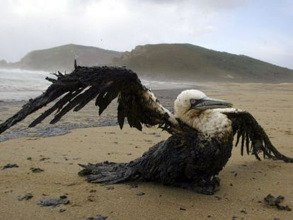 A gannet soaked with oil from the Prestige tanker in 2002.