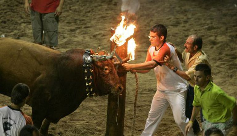 """A """"bou embolat"""" in a Valencian municipality."""