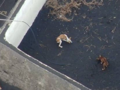 The dogs are trapped inside two water deposits on La Palma.