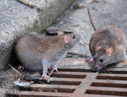 Two sewer rats.